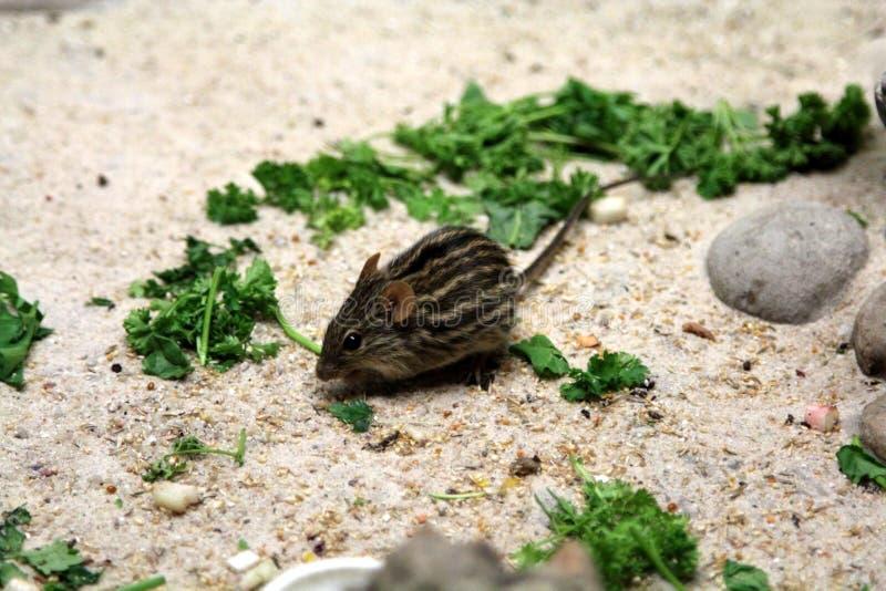 被剥离的草老鼠 库存图片