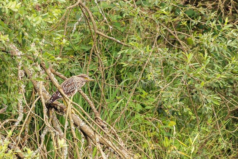 黑被加冠的夜鹭属鸟在分支站立 图库摄影