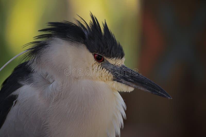 黑被加冠的夜鹭属 免版税库存照片