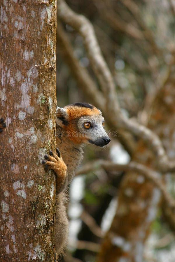 被加冠的狐猴男 免版税库存照片
