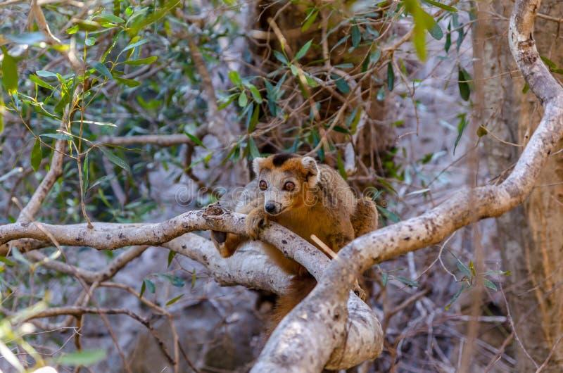 被加冠的狐猴在Ankarana公园马达加斯加 免版税库存图片