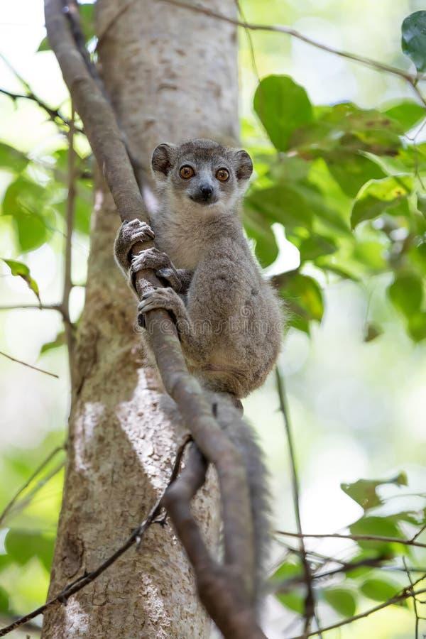 被加冠的狐猴Ankarana国家公园的婴孩 免版税库存图片