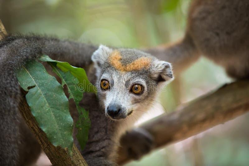 被加冠的狐猴Ankarana国家公园 库存照片