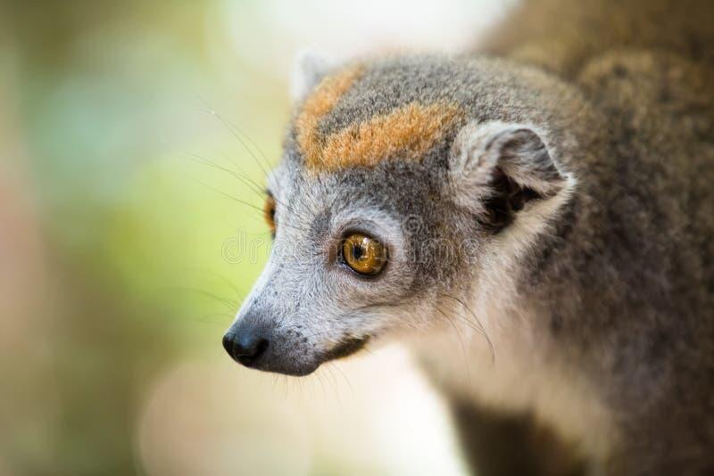 被加冠的狐猴Ankarana国家公园 库存图片