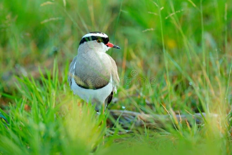 被加冠的田凫,欧亚田凫类coronatus,在绿草的鸟,Moremi,奥卡万戈三角洲,博茨瓦纳 从自然的野生生物场面 灰色 库存照片