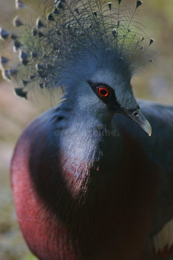 被加冠的鸽子维多利亚 免版税库存图片