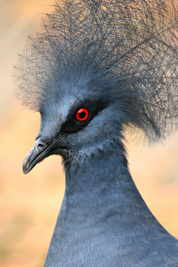 被加冠的鸽子 免版税库存图片