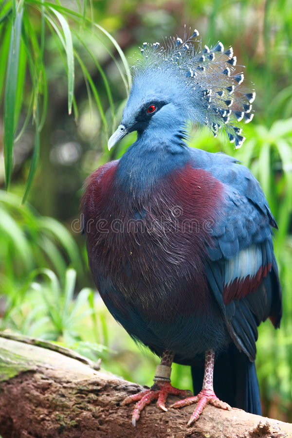 被加冠的goura鸽子维多利亚 免版税库存图片