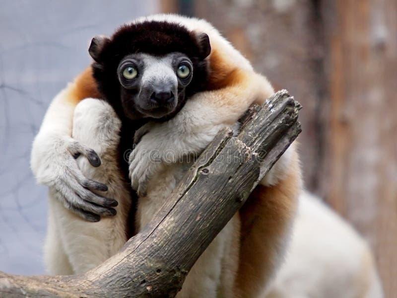 被加冠的sifaka狐猴 免版税库存照片