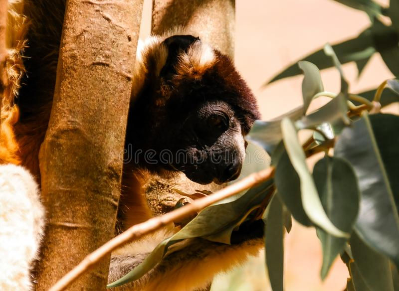 被加冠的sifaka Propithecus coronatus的亦称画象在狐猴的停放,安塔那那利佛,马达加斯加 免版税库存图片