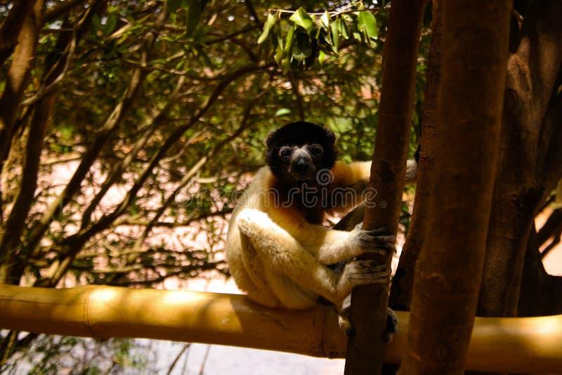被加冠的sifaka Propithecus coronatus的亦称画象在狐猴的停放,安塔那那利佛,马达加斯加 免版税图库摄影