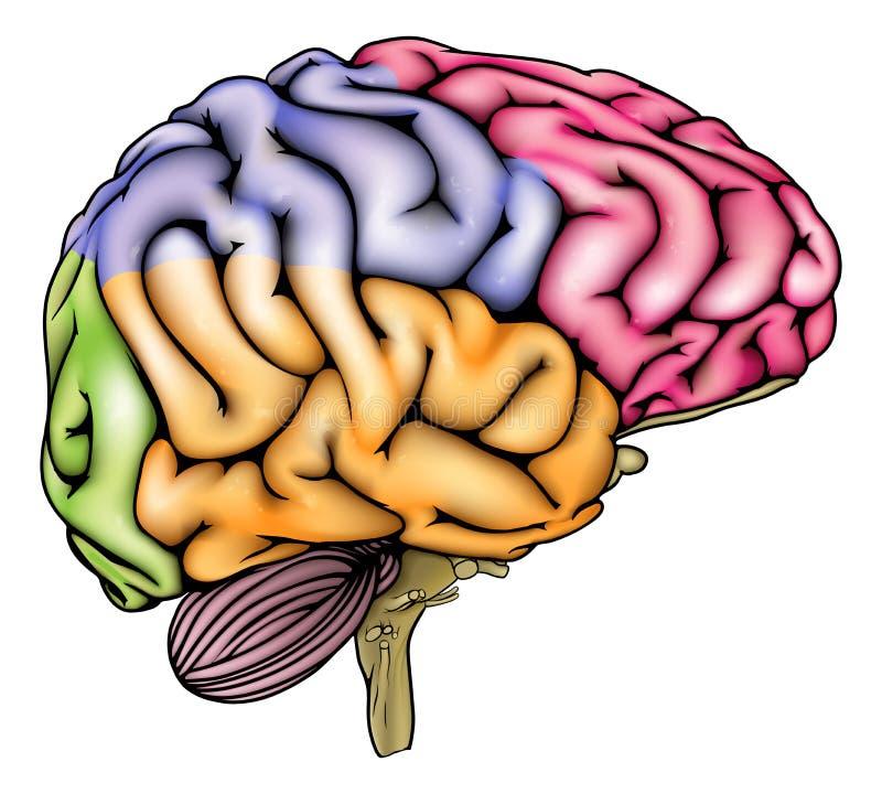 被区分的人脑解剖学 库存例证