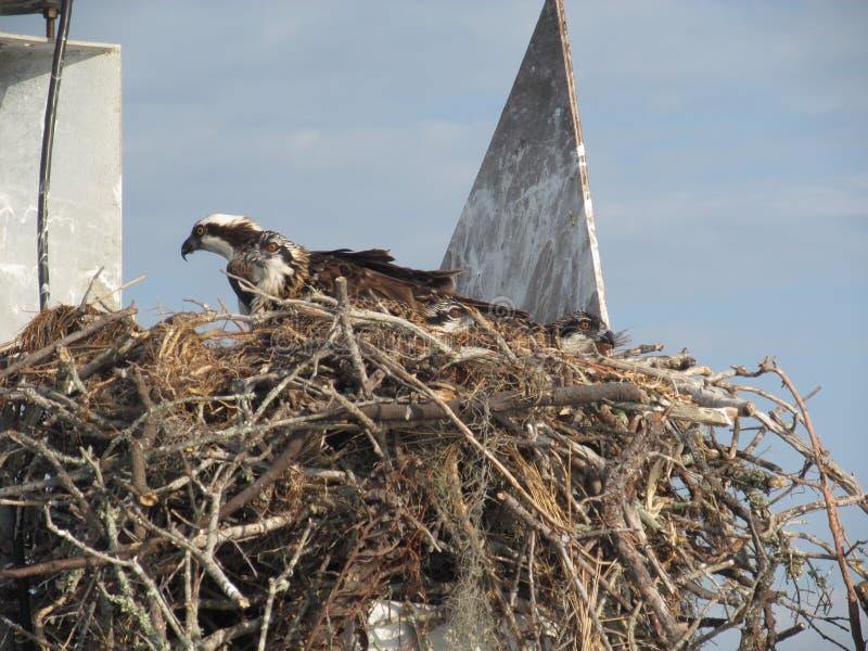被占领的白鹭的羽毛巢 库存图片