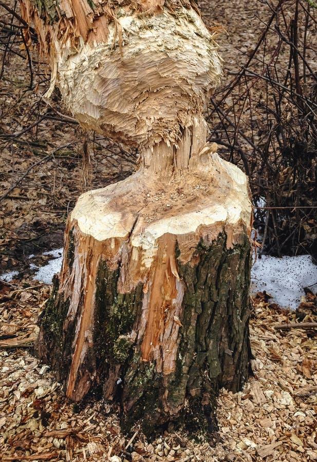 被咬的树干 免版税库存图片