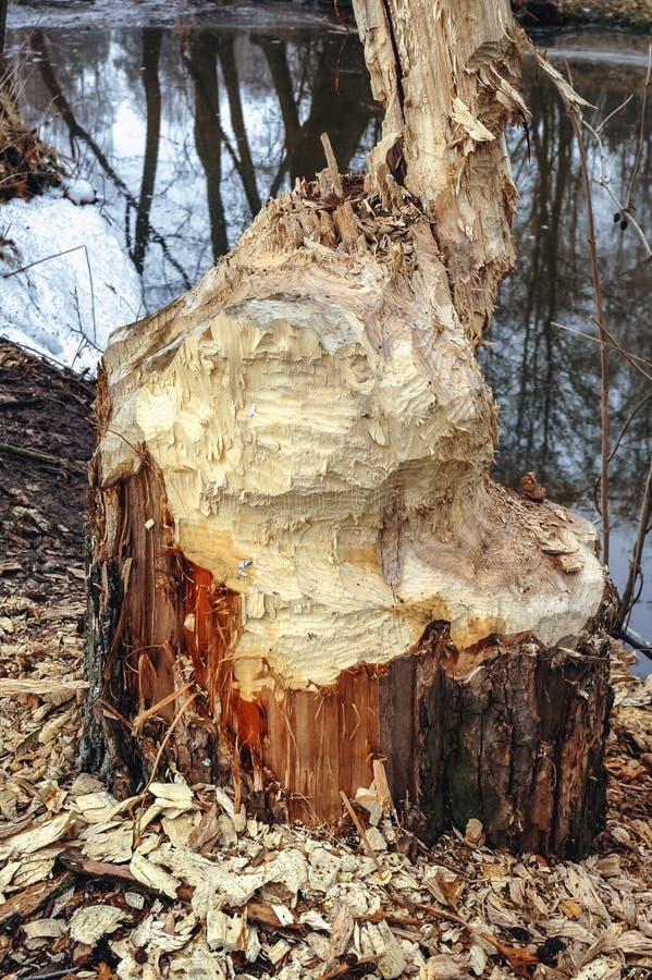 被咬的树干 免版税库存照片