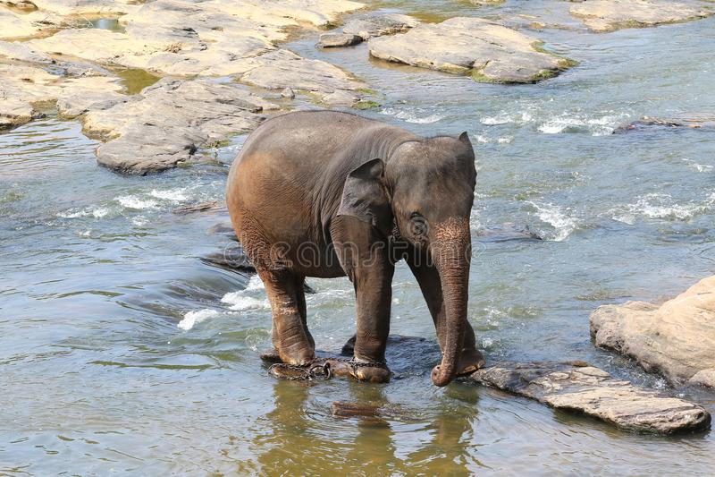 被囚禁的亚洲大象,对动物的惨暴 免版税库存照片