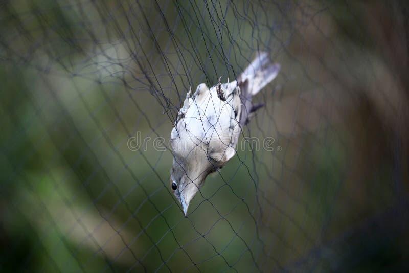 被困住的夜莺 库存照片