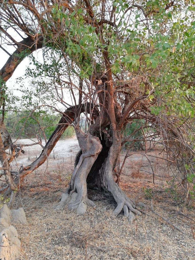 被困扰的结构树 免版税库存图片