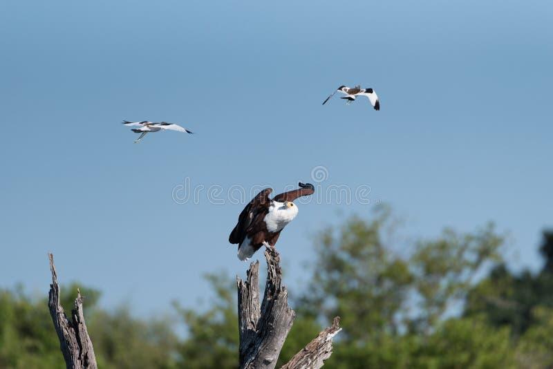 被围攻的鱼鹰 免版税库存照片