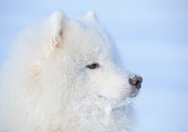 被埋没的狗爱斯基摩雪下 免版税库存照片