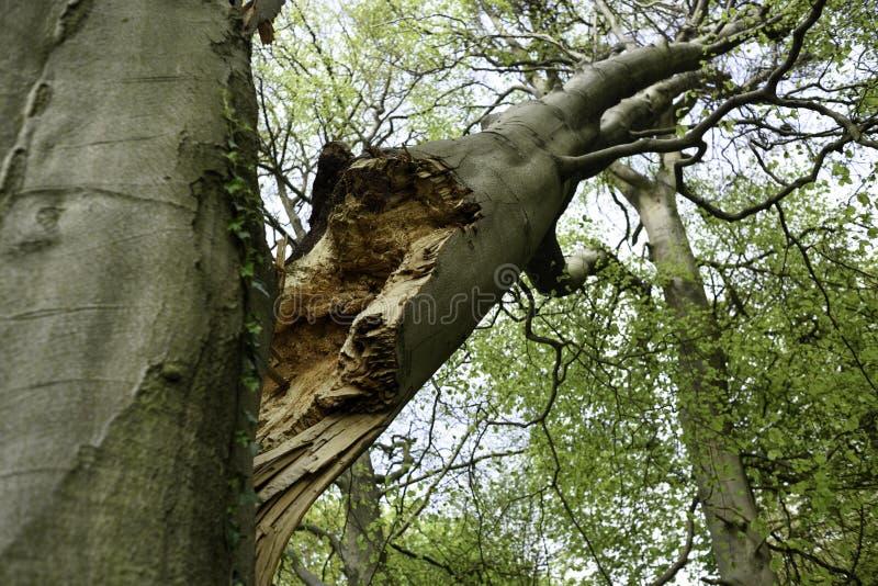 被大风和风暴破坏的山毛榉树 库存照片