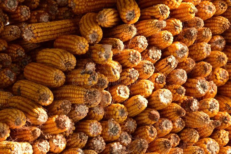 被存放的甜玉米 免版税库存图片