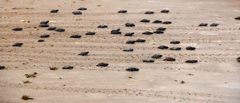 被孵化的绿海龟去往海洋 免版税库存图片