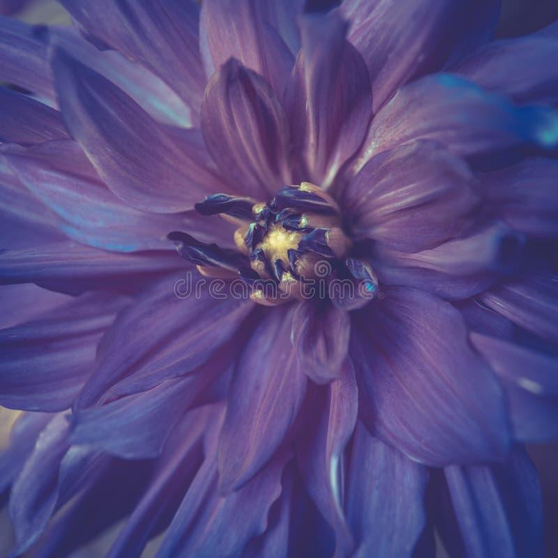 被定调子的紫罗兰色颜色大丽花花特写镜头在夏天 免版税库存图片
