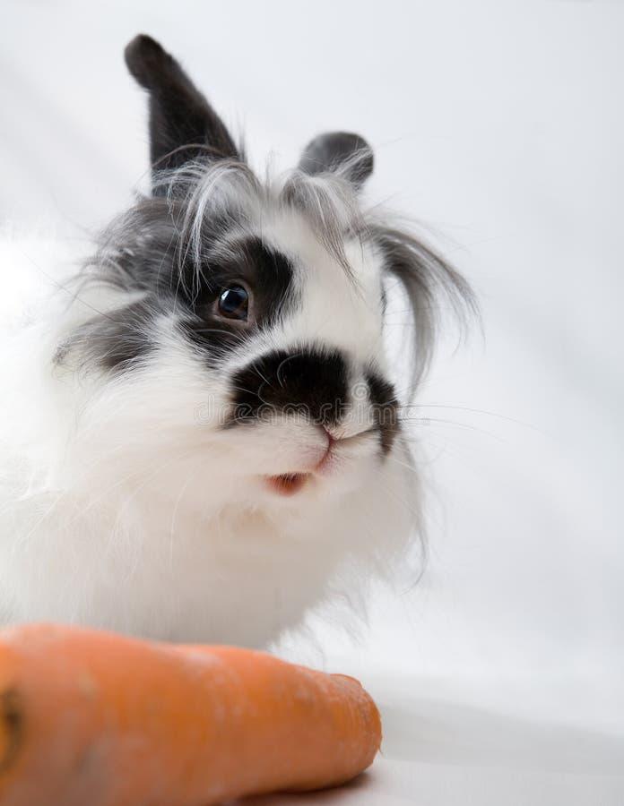 被察觉的兔宝宝红萝卜 免版税库存照片