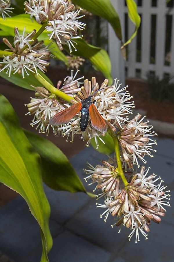 被察觉的夹竹桃毛虫飞蛾授粉的花 图库摄影