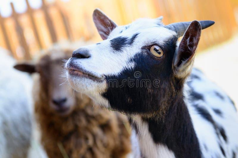 被察觉的山羊牲口 免版税库存图片