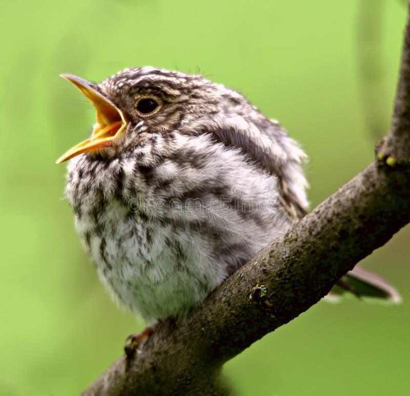 被察觉的捕蝇器青少年 Muscicapa striata 库存图片