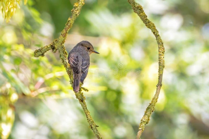 被察觉的捕蝇器- Muscicapa striata,渥斯特夏,英国 库存照片