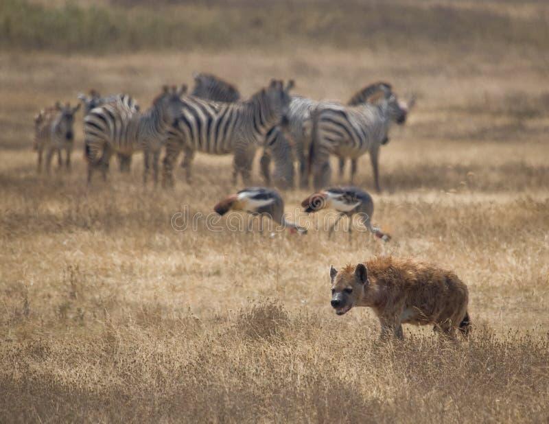 被察觉的斑鬣狗鬣狗 库存照片