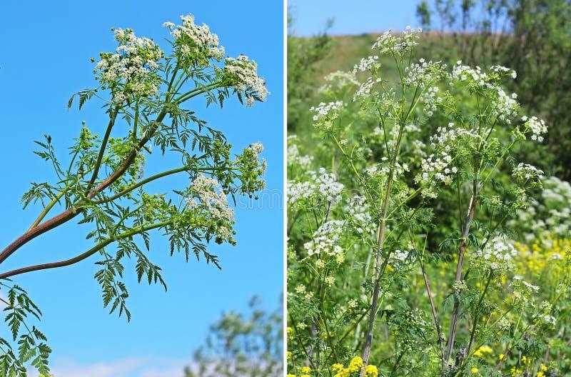 被察觉的毒草名(毒芹属maculatum) -每两年草本植物s 库存照片