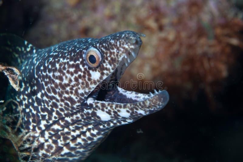 被察觉的海鳗 免版税图库摄影