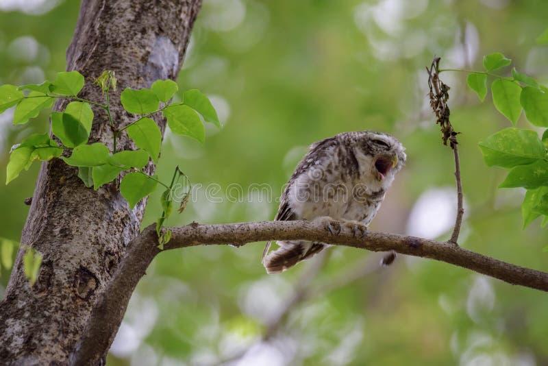 被察觉的猫头鹰之子基于树 免版税库存照片