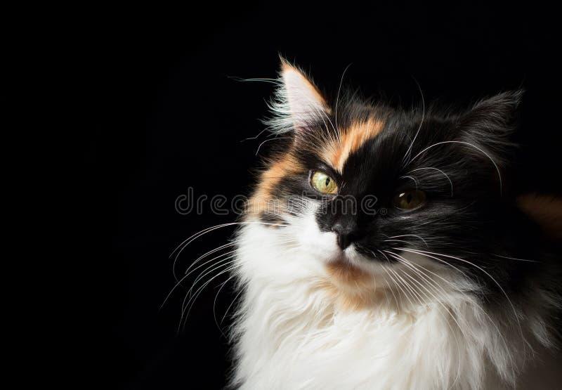被察觉的猫特写镜头画象  免版税库存图片
