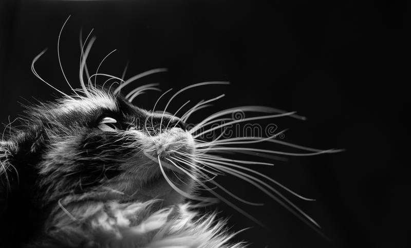 被察觉的猫特写镜头画象  免版税库存照片
