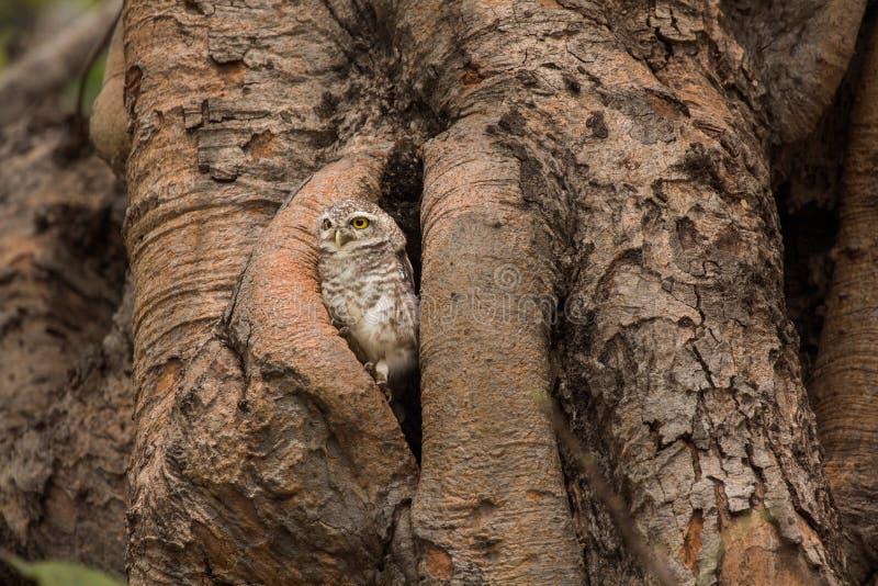 被察觉的猫头鹰之子在他们的家庭空心树自然居住 免版税图库摄影