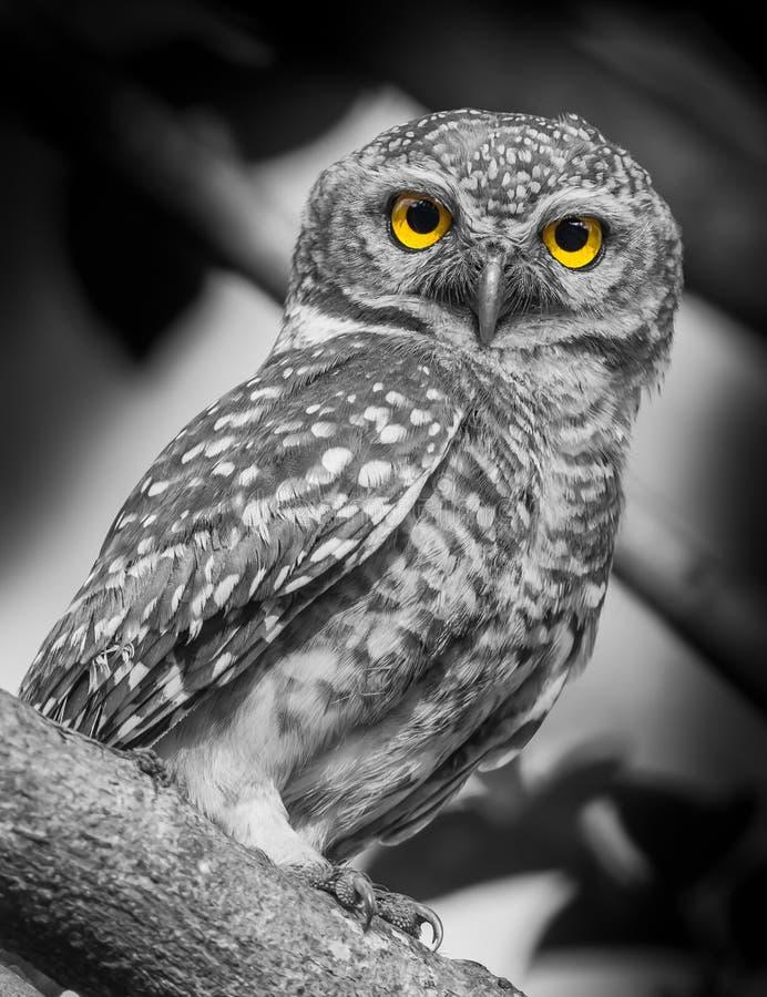 被察觉的猫头鹰之子 图库摄影