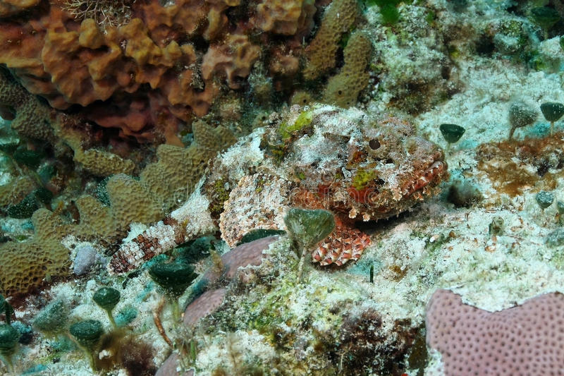 被察觉的珊瑚隐藏的礁石石头鲈 免版税库存照片