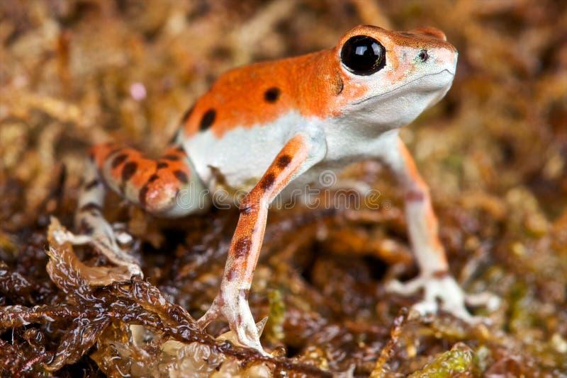 被察觉的箭青蛙 免版税库存图片