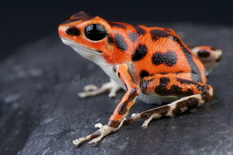 被察觉的箭青蛙/Oophaga pumilio 库存图片