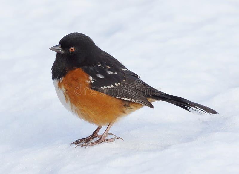 被察觉的红眼雀在冬天 库存照片