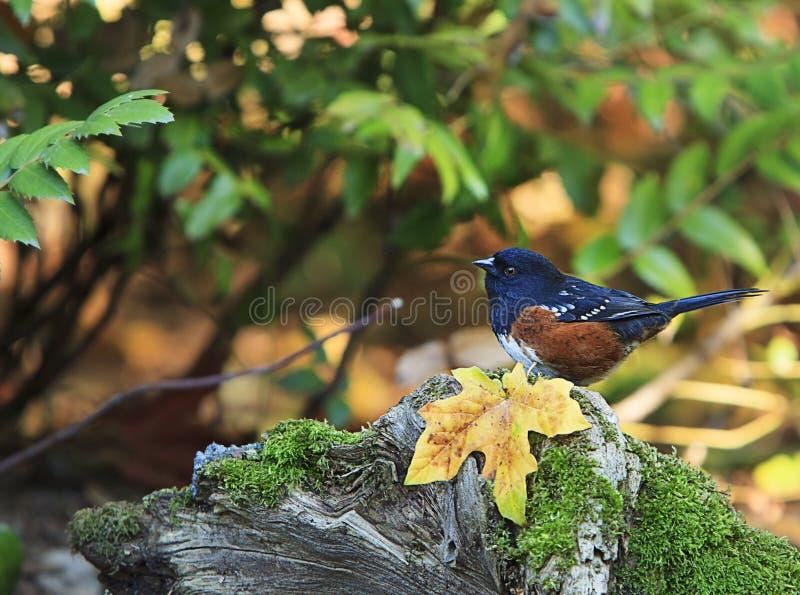 被察觉的红眼雀Pipilo maculatus秋天叶子 库存照片