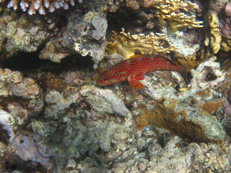 被察觉的蓝色石斑鱼红色 免版税库存照片