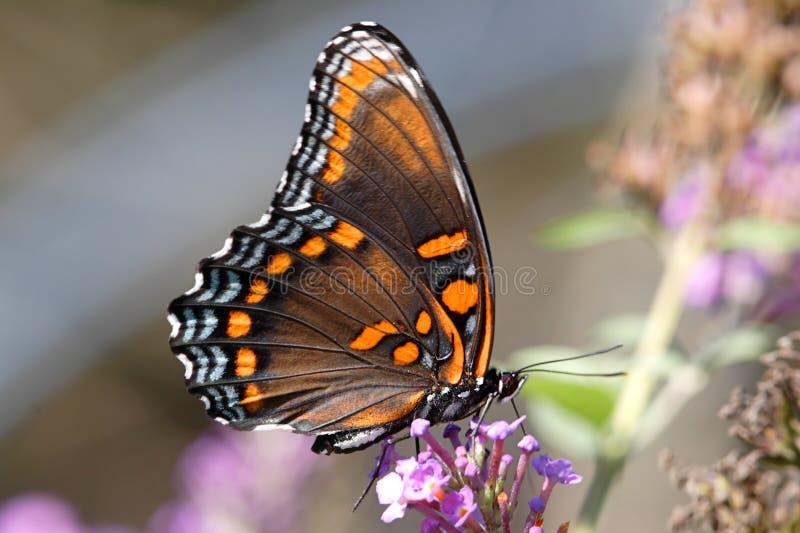 被察觉的蝴蝶紫色红色 库存照片