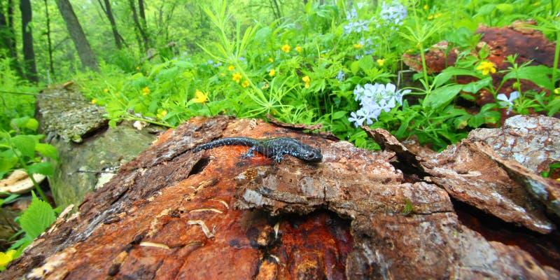 被察觉的钝口螈属蓝色laterale蝾 免版税图库摄影