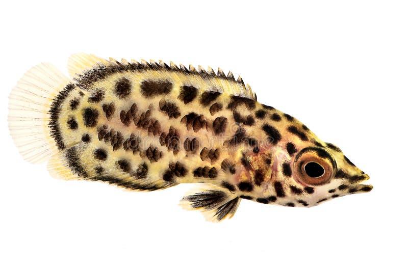 被察觉的非洲叶子鱼Ctenopoma acutirostre热带水族馆鱼 库存照片